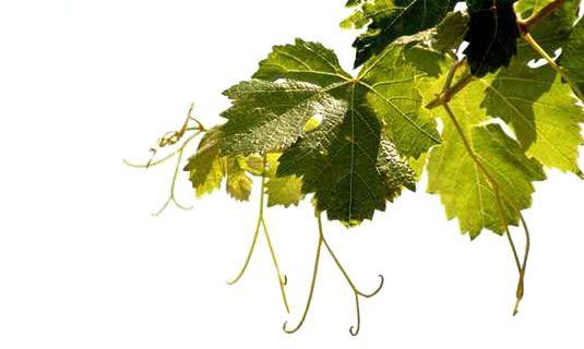 Vignolis - Coopérative du Nyonsais