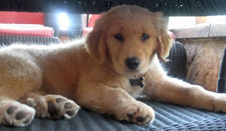 via the daily puppy  Puppy Breed: Golden Retriever  Hi, I'm Bailey! I'm a golden retriever puppy with tons of energy. I love to swim. I swim in my pool every day and when I'm done I take a nap on my favorite lounge chair. I love other dogs, especially dogs that like to wrestle. I have big brown eyes and golden eyelashes that help me get whatever I want. When I'm not digging in the yard I'm curled up under the couch, taking a nap.