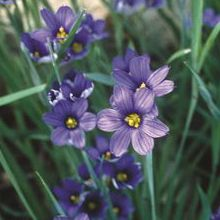 Blue-Eyed Grass for sale buy Sisyrinchium angustifolium 'Lucerne'