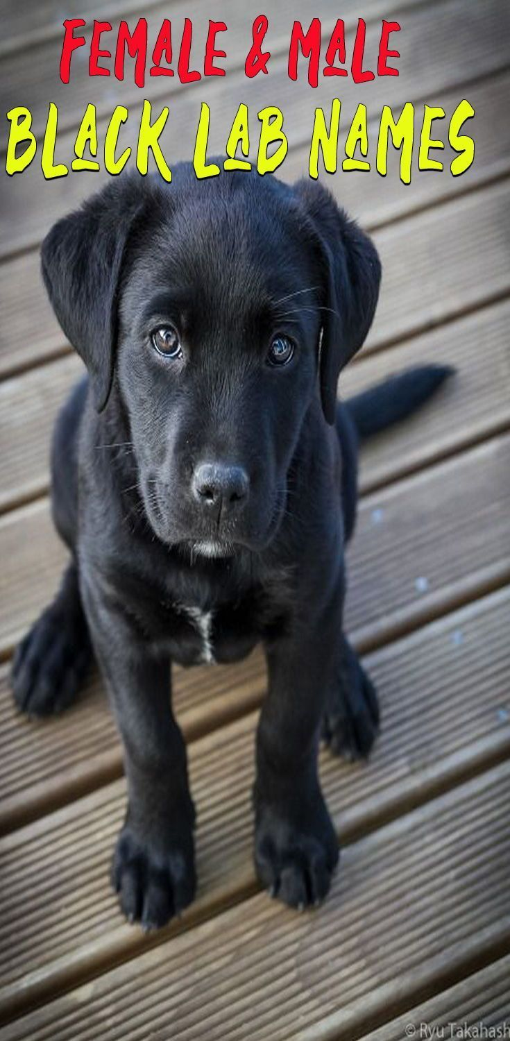 The Ultimate List Of Black Lab Names Cute Unique And Good