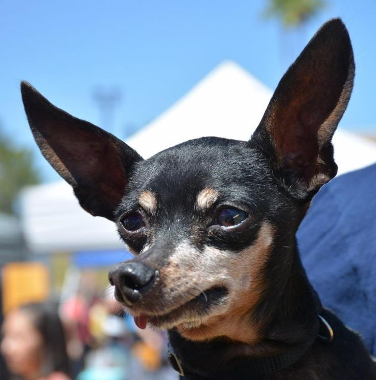 Salty is an adoptable Miniature Pinscher searching for a forever family near Phoenix, AZ. Use Petfinder to find adoptable pets in your area.