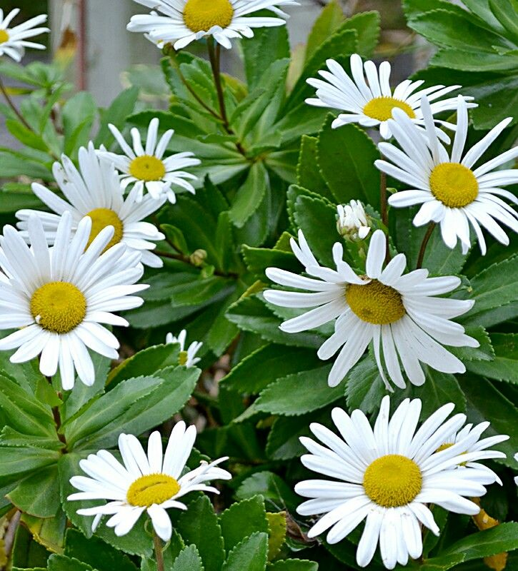 Montauk Daisy Full to part sun 3' mounds Blooms late summer to early fall