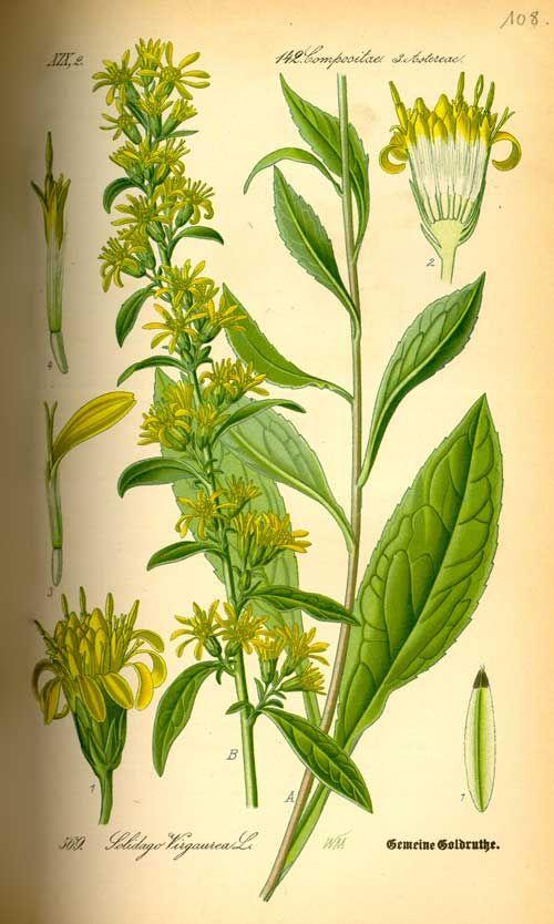 Richard Whelan ~ Medical Herbalist ~ Golden Rod