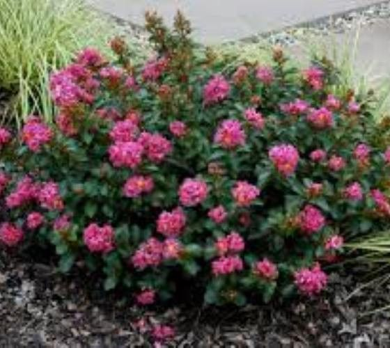 Pocomoke ( Dwarf ) Pink Crape Myrtle lagerstroemia indica pocomoke A true genetic dwarf which was introduced by the National Arboretum. Has nice bright pink blooms with very dark green oval shaped lea