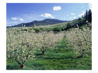 One of the many beautiful orchards of pears or apples in Apple Hill, CA.  Every season was amazing and the scent of the blossoms was so lovely.