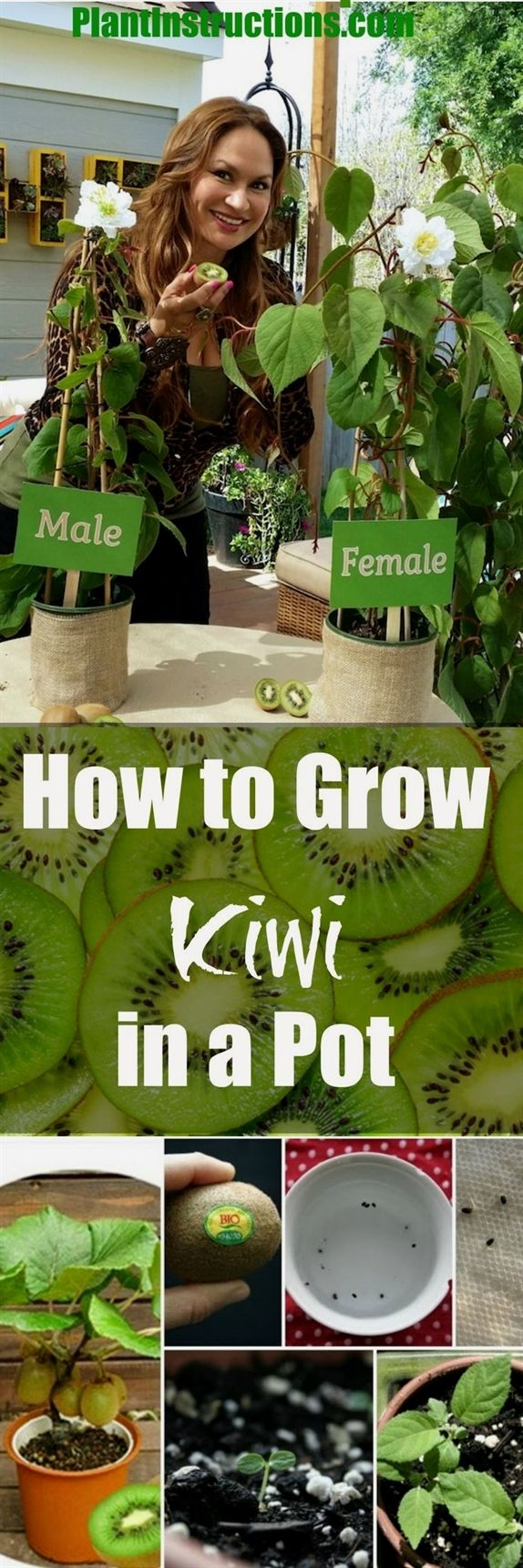 Did You Know That You Can Grow Kiwi In A Pot It S True No Longer Does Kiwi Have To Be That Fruit You Purchase Growing Vegetables Kiwi Growing Growing Plants