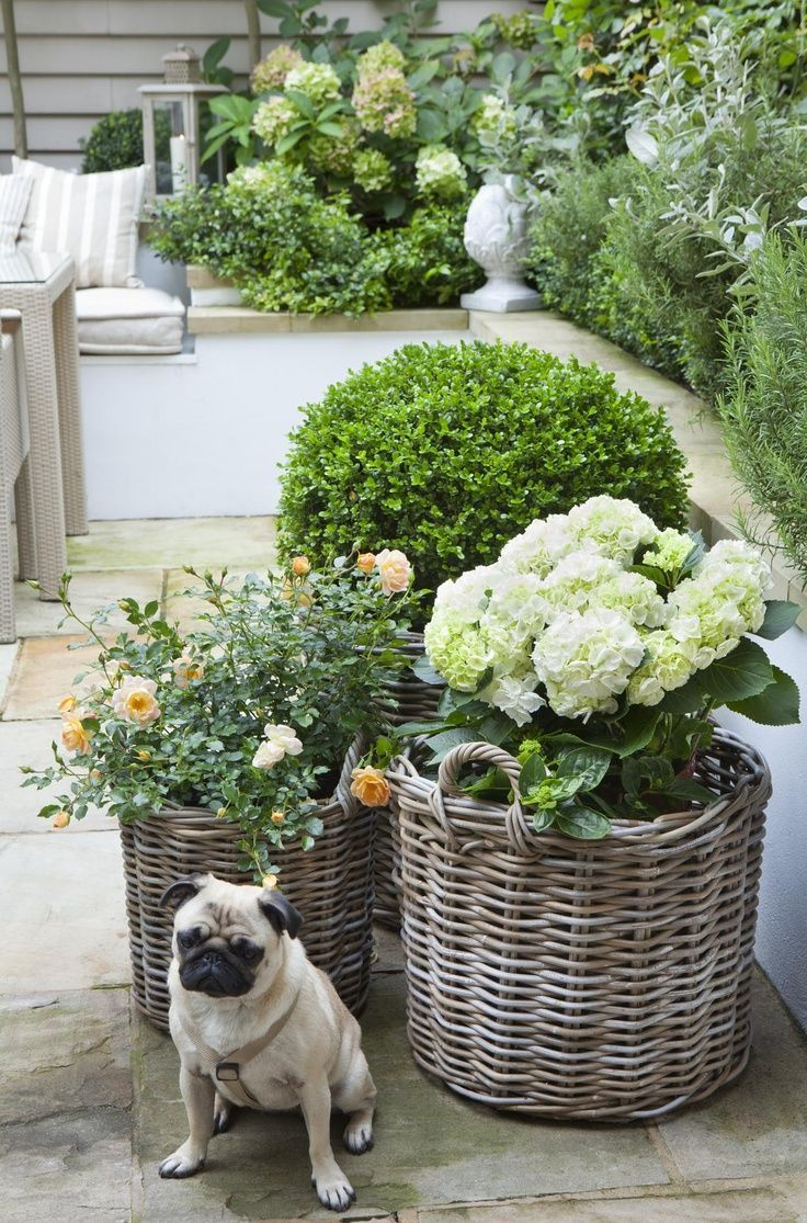 Box Topiary Bälle, weiße Hortensien und englische Rosen in grauen Rattankörben … F