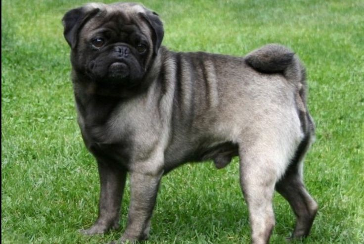 {silver pug} ,,, . Pugs come in four colors: apricot, fawn, black and more uncommonly, silver