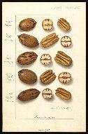 1907 - schutt, Ellen Isham, 1873-1955  Scientific name:  Carya illinoinensis  -  Common name:  pecans - 17 x 25 cm.