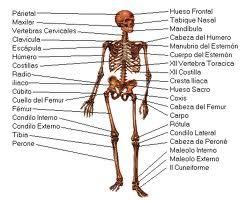 Ms de 25 ideas increbles sobre Esqueleto del cuerpo humano en