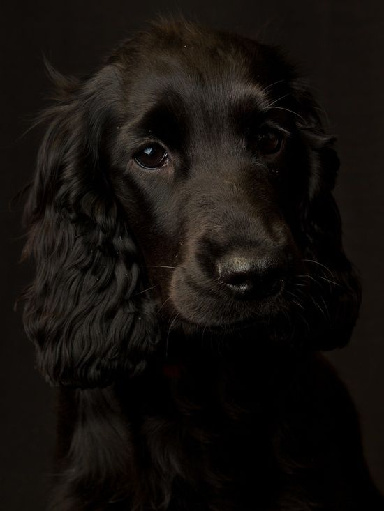 Now this is the Pup I'd LOVE to own. Cocker Spaniel. http://simply-beautiful-world.tumblr.com/post/51239231421