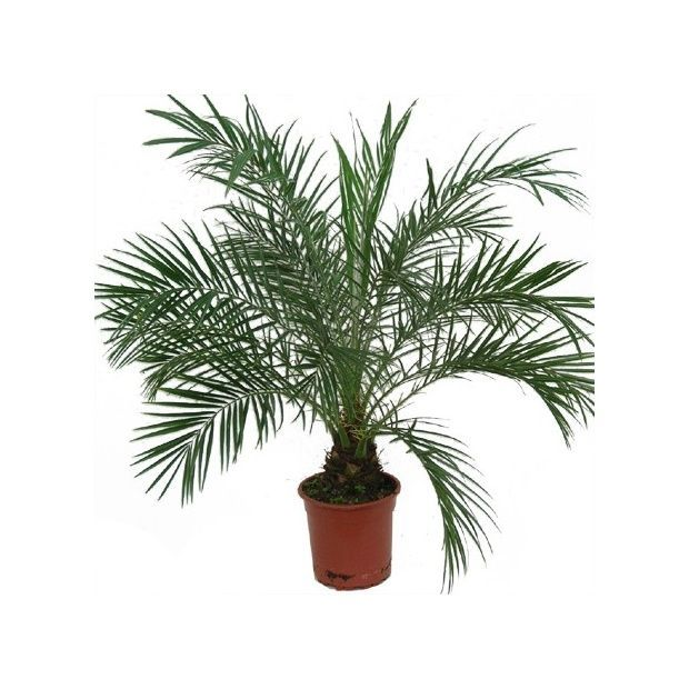 palmier dintrieur au feuillage trs fin qui peut - Plantes D Exterieur Terrasse
