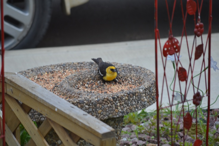 yellowheaded blackbird they are gorgeous
