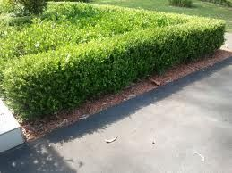 buxus hedge and gardenia landscaping - Google Search