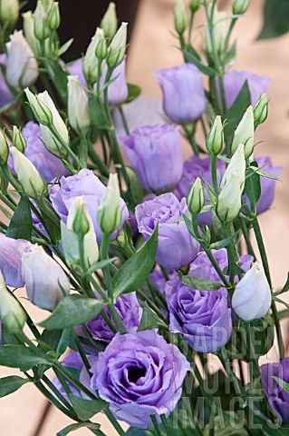 Lavender lisianthus, loves sun, needs to be planted in a well drained area, grws 1-3 feet tall, is an annual flower, cut flowers will last up to 3 weeks in water, native of American prairies