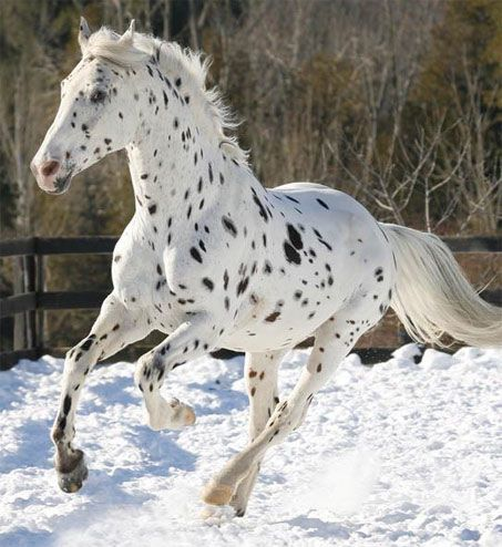 Appaloosa is a horse breed best known for its colorful leopard-spotted coat pattern. The weight range varies from 950 to 1,250 pounds, and heights from 14 to 16 hands (56 to 64 inches).