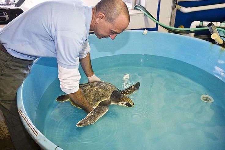 Sea Turtle Inc.'s curator working with a Kemp's Ridley Sea Turtle (Lepidochelys kempii) ant rehabilitation facility, South Padre Island, Texas, USA