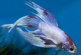 Gestation Period for Guppies