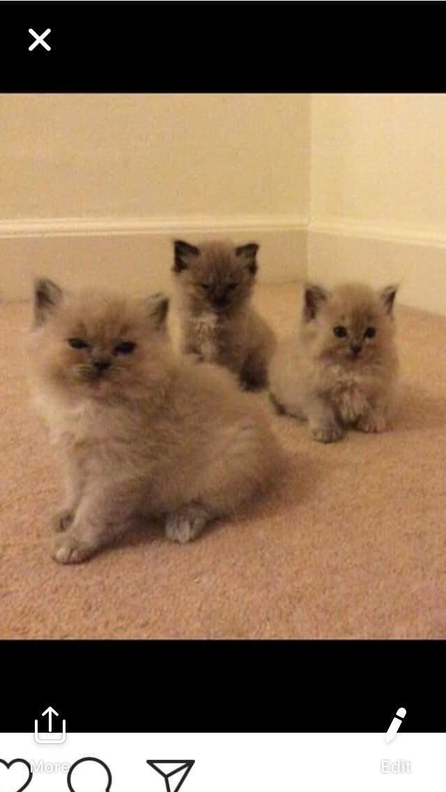 Ragdoll Kittens Local Classifieds For Sale In Lancashire In 2020 Ragdoll Kitten Kittens Cats And Kittens