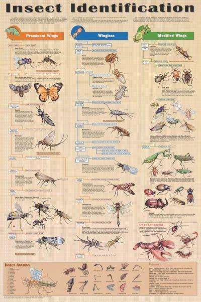Insect Identification Bugs Entomology Education Poster 24x36