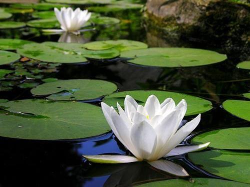 La flor del loto de la India simboliza divinidad, fertilidad, riqueza, conocimiento e ilustración. Esta asociada con la diosa de la abundancia, Maha Lakshmi, quien provee prosperidad, pureza y generosidad. Ella se sienta sobre una flor de loto en plana flor, simbolizando pureza, belleza y todo lo que es bueno. Es símbolo de sabiduría y de fertilidad, y está estrechamente relacionada con la Gran Madre Lakshmi, la diosa de la prosperidad, la generosidad y la belleza interior.