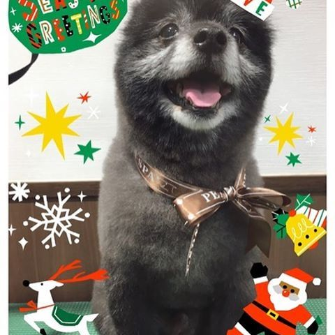 メリークリスマス #Merry Chrirstmas #instapom  #pom #dogstagram  #instadog #pet  #포메라니안  #pomeranian  #cutedog  #dog  #doggie  #pommy  #lovedogs  #blackpom  #blackdog #ポメラニアン #ポメ #黒ポメ #くま #たぬき #ふわもこ部 #愛犬 #ブラックタン  #わんこ #シニア犬 #померанский #pomstagram