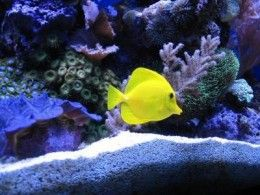 I want a Yellow Tang for my future aquarium! They are beautiful yellow fish. My kids would love them too!