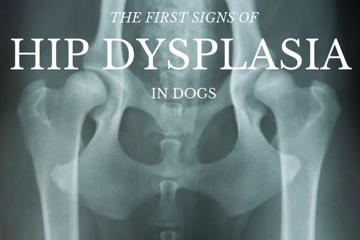 Hip Dysplasia Only Impacts Large Breed Dogs
