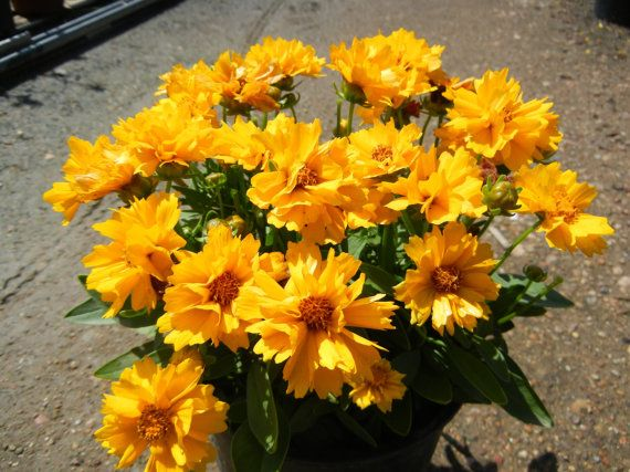 Heirloom 500 Seeds Coreopsis Sunray Tickseed Flower Bulk Seeds A0028, $1.79