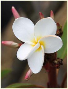 Frangipani perfume ingredient, Frangipani fragrance and essential oils Plumeria rubra (Apocyanaceae)