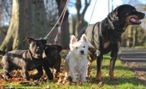 Young Lovers - A Westie and a Rottweiler? | Pebbles the Puppy