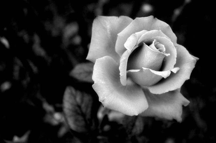 rose black and white - Google Search