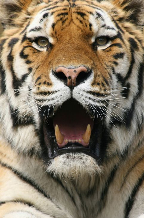 Big Roar! It about Say A With  1000+ Cats on images