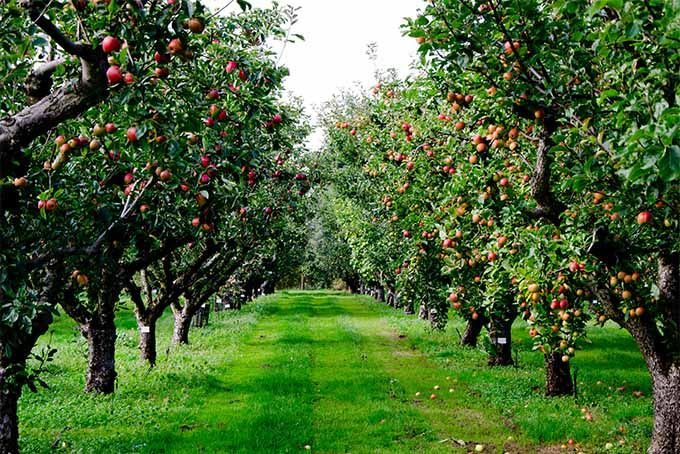 How To Grow Apple Trees At Home Apple Tree Growing Apple Trees Trees To Plant