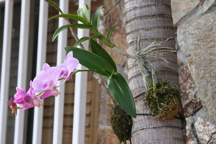 Palm Tree With Orchids Growing From Them Mounted
