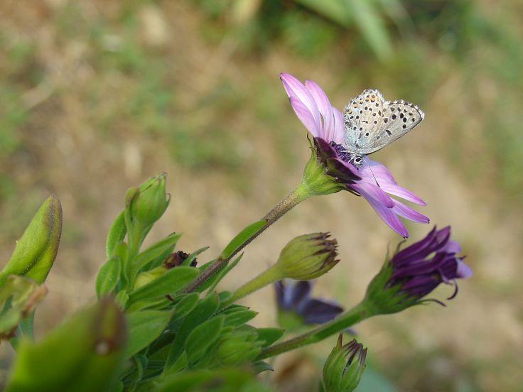 Dans la garrigue nîmoise les papillons virevoltent sur les fleurs colorés #spring #nimes #butterfly