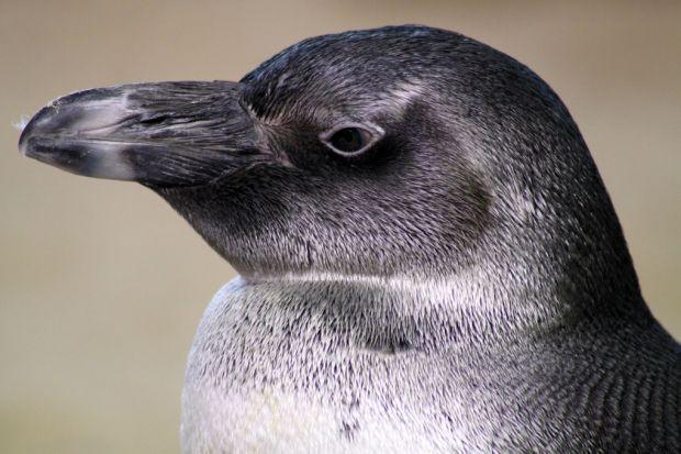 Juvenile African penguin, Two Oceans Aquarium, Cape Town