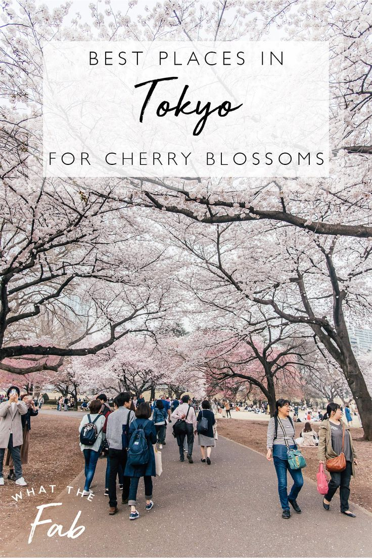 Sakura In Japan Cherry Blossom Forecast Hikone Castle Japan Photo