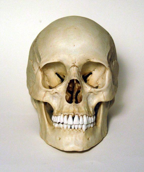 Female Human Skull Replica by artskulls on Etsy, £95.00