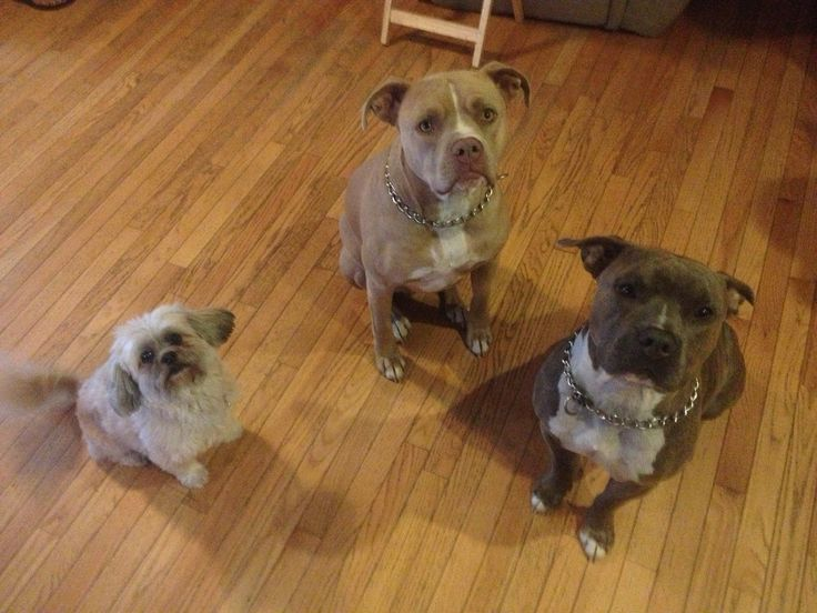 Lhasa Apso, Blue Fawn Pitbull, Blue brindle Bully. Friends for life.