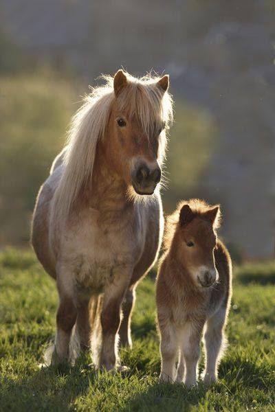 Shetland Ponies !!