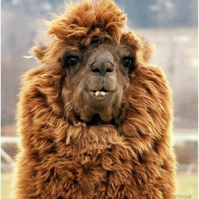 19 Llamas (And Alpacas!) You Can't Even Believe Are Real - The Dodo