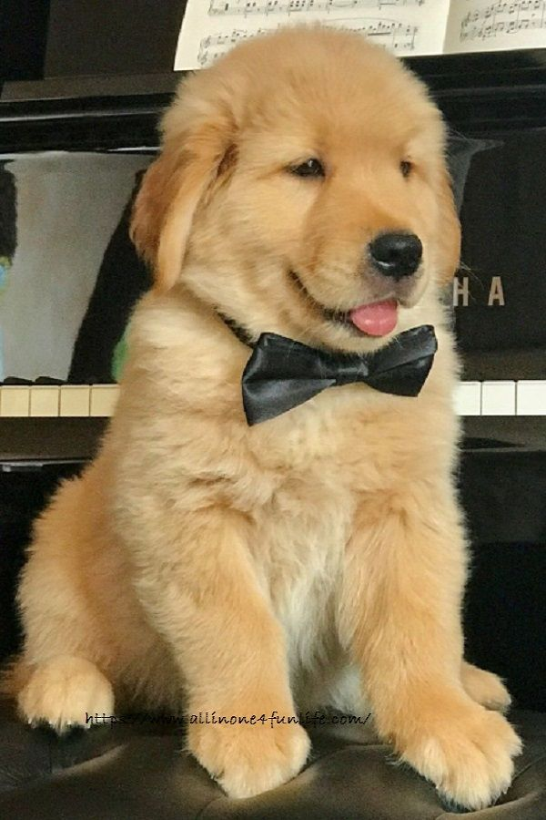 Should You Get A Golden Retriever Puppy 6 Things To Know Dog