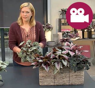 DIY-Video: Blatt-Begonien richtig einpflanzen
