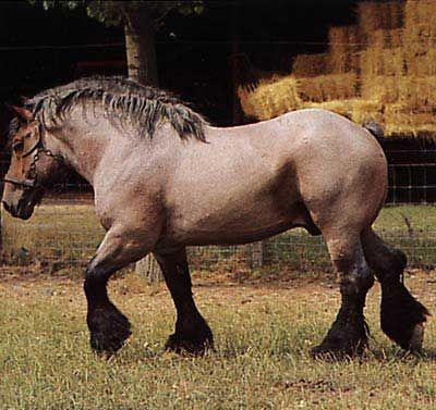 IL #CAVALLO BELGA DA TIRO. La razza, chiamata anche Bramantino, originaria del Belgio dal quale prende il nome, è un cavallo massiccio, uno dei più grandi, usato per il traino sin dall'antichità. Durante il Medioevo era conosciuta come...  Per continuare a conoscere la razza: https://itunes.apple.com/it/app/vademecum-del-cavallo-secondo/id765697733?mt=8&uo=4 Grazie.