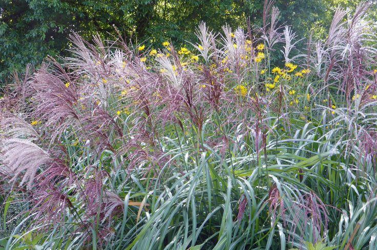Miscanthus sinensis 'Positano' a stylish grass