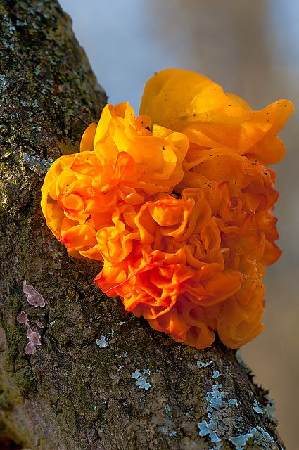Witches Butter by Carter Flynn - this parasitic fungus is found on rotting wood in wet forest areas.