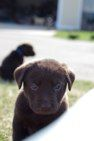 Labsforabetterlife.com Adorable chocolate lab puppies available for adoption soon.