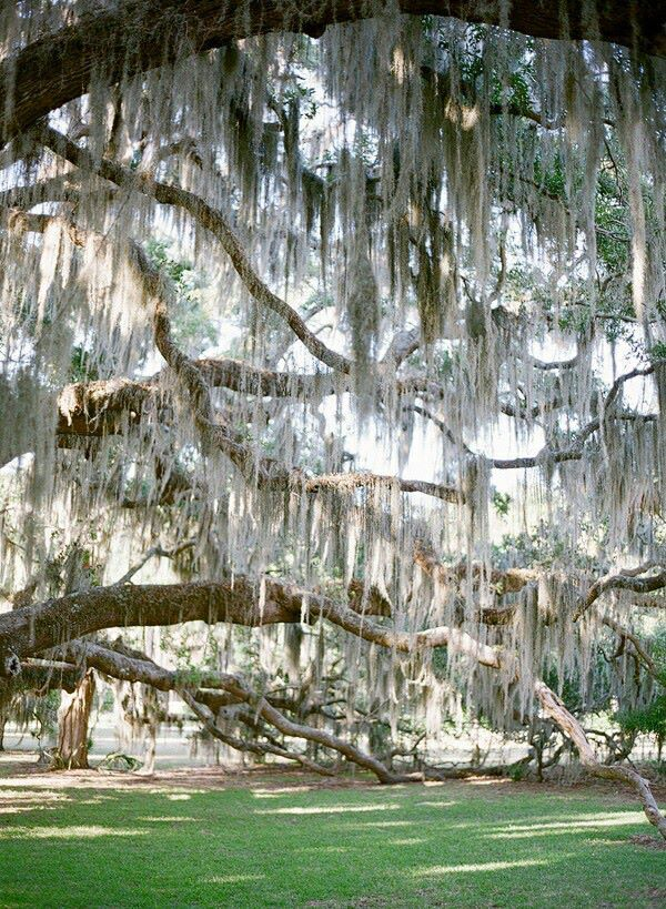 Spanish Moss is so beautiful on our Live Oaks here in the South... unfortunately it saps the nutrients from the trees and slowly kills them... so many northerners come here and plant live oaks then cover them with moss, they never have a chance... they have to be old well established trees to survive it
