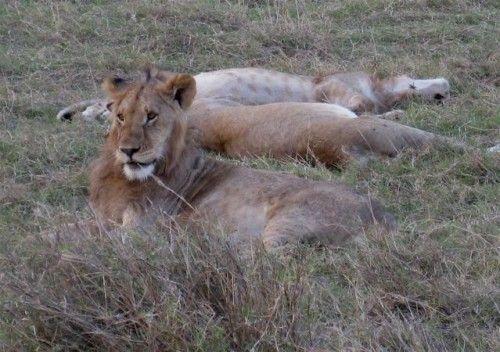 Lions, Masaai Mara, Kenya